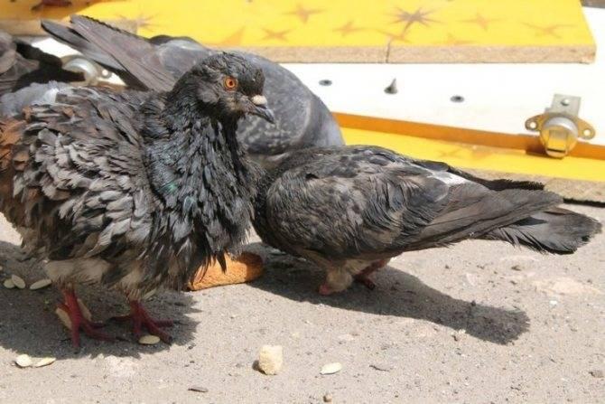 Голуби переносчики инфекции. чем можно заразиться от городских птиц
