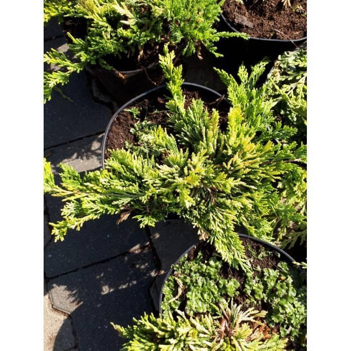 Можжевельник обыкновенный грин карпет (juniperus communis green carpet)