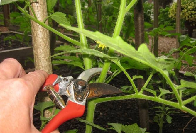 Как пасынковать помидоры в теплице