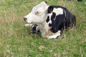 Корова не встаёт на ноги после отёла — почему и что делать
