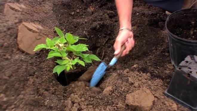 Когда и как правильно посадить ежевику