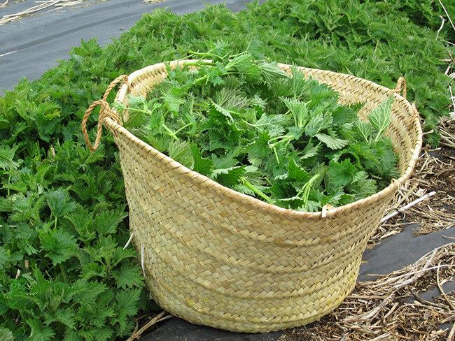 Настой крапивы для подкормки растений - запишите рецепт зеленого удобрения из крапивы.   красивый дом и сад
