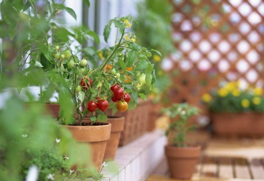 Помидоры на балконе – выбираем сорт правильно