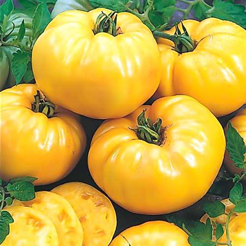 Сорт «гигант лимонный» — томат с необычайным вкусом, ярким окрасом и невероятно крупными сочными плодами
