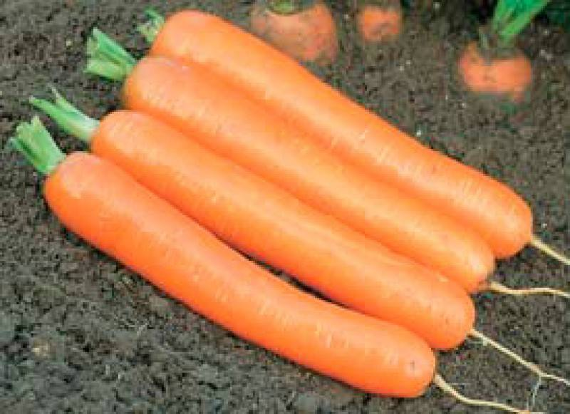 Морковь дордонь f1: описание, фото, отзывы