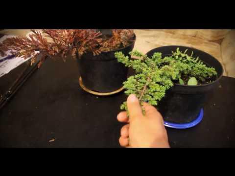 Выращивание можжевельника в домашних условиях