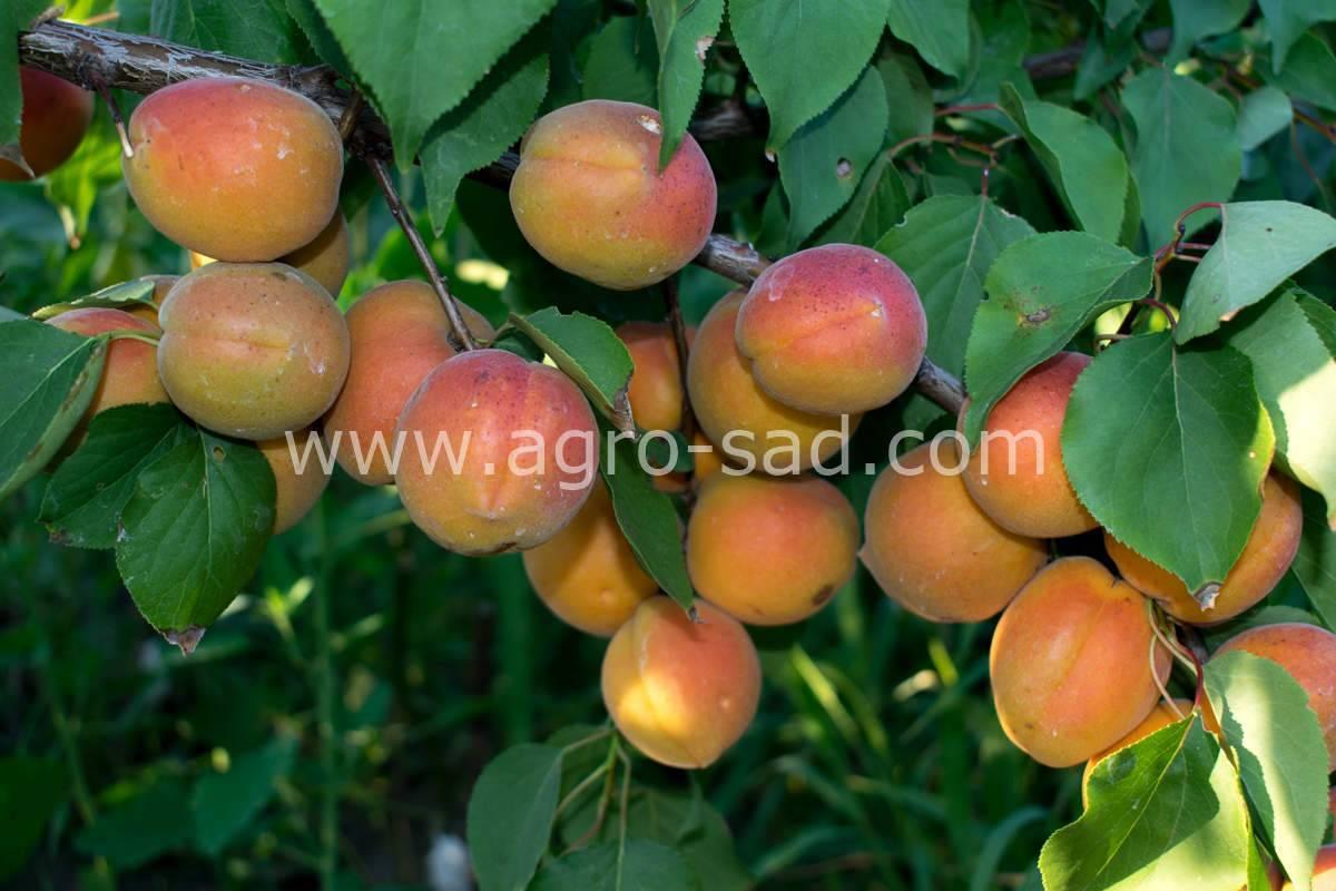 Шарафуга: описание и фото гибрида персика, сливы и абрикоса