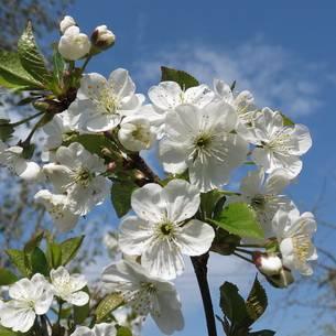 Позднеспелый сорт черешни – крупноплодная регина