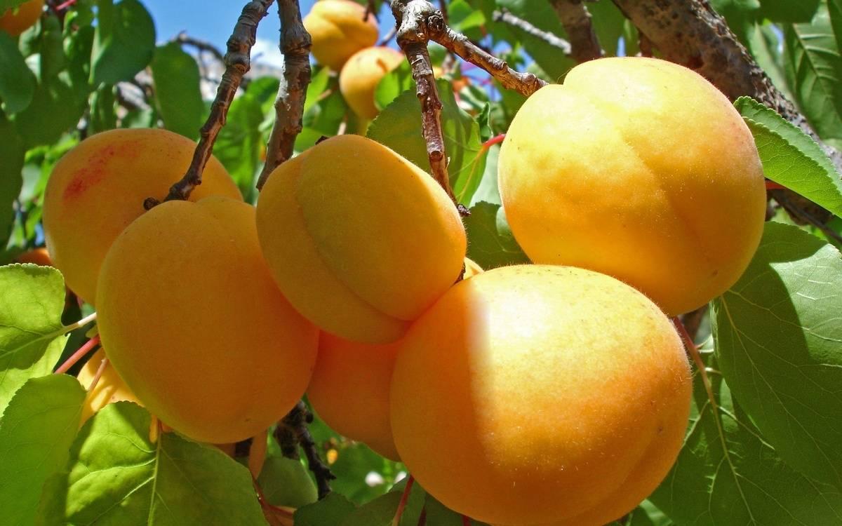 Плюсы и минусы высокоурожайного хабаровского абрикоса