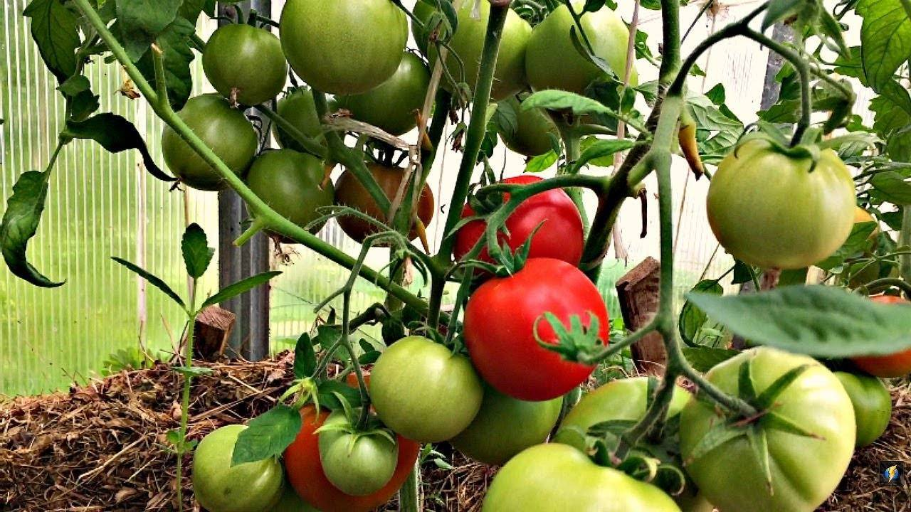 Томат Кострома F1: отзывы, фото, урожайность