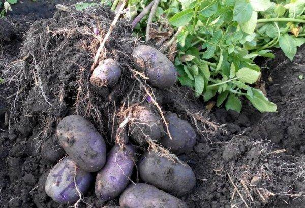 Картофель нандина: характеристика сорта, отзывы | весьогород.ру