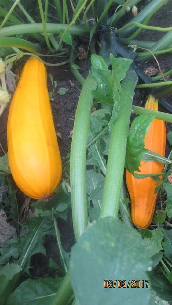 Желтый кабачок: желтоплодные сорта и их описаие