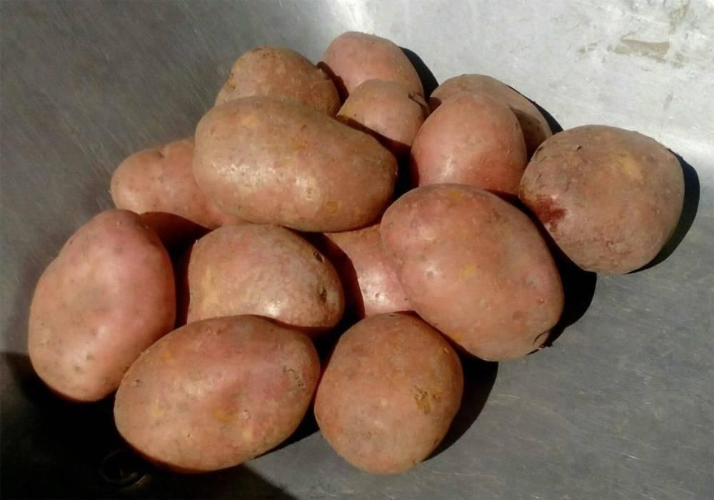 Неприхотливый раннеспелый сорт картофеля «любава» для длительного хранения