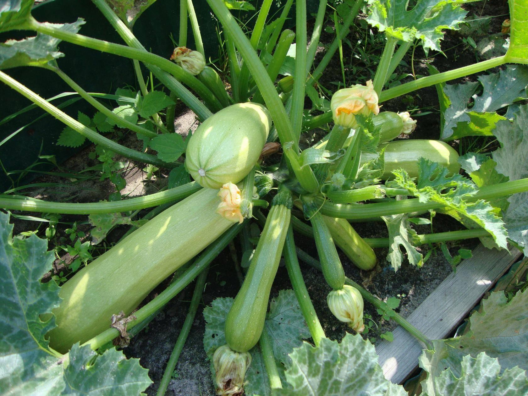 Лучшие сорта кабачков для посадки семенами в открытом грунте: в подмосковье и других регионах