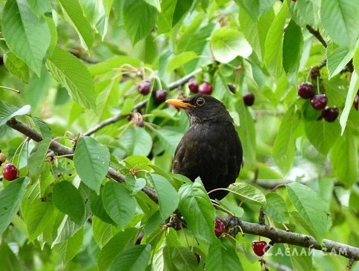 Как защитить черешню и вишню от птиц?