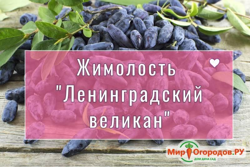 Черная смородина Ленинградский великан