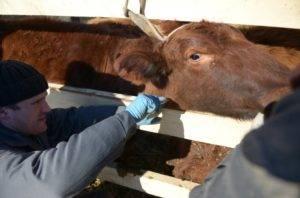 Симптомы и лечение пастереллеза у коров