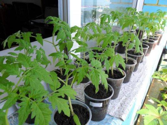 Как правильно использовать торфяные таблетки для выращивания рассады помидоров и избежать распространенных ошибок?