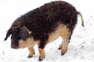 Порода свиней венгерская мангалица: характеристика, особенности ухода, содержания и разведения