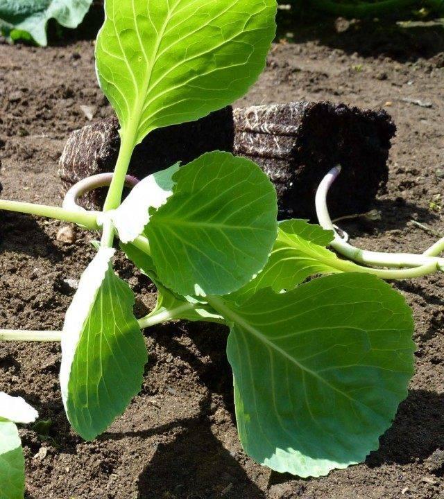 Капуста июньская: описание сорта, отзывы, фото и урожайность