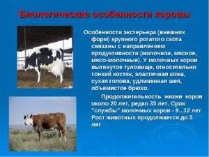 Биологические особенности коров: процесс лактации, период размножения, система пищеварения