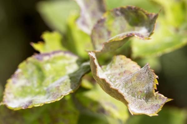 Распространенные болезни петуний: методы борьбы и профилактики