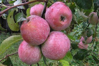 Сорт яблок богатырь: описание и фото, особенности и характеристики, выращивание и уход