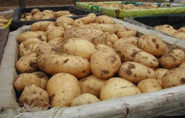 Картофель адретта — описание сорта