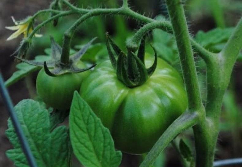"Томат ""бабушкин секрет"": описание сорта помидоров"