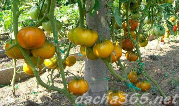 Томат малахитовая шкатулка: описание и характеристика сорта, отзывы с фото