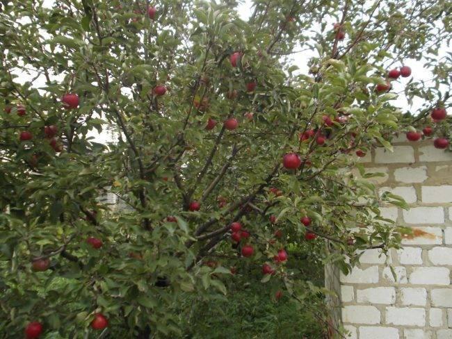 Яблоня спартан: описание сорта, фото, отзывы садоводов