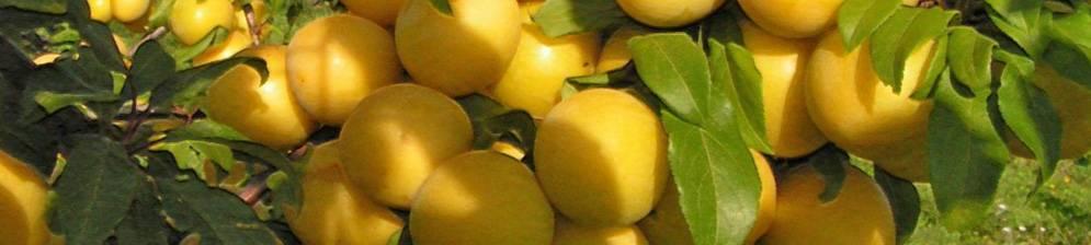 Сорта желтой сливы с фото