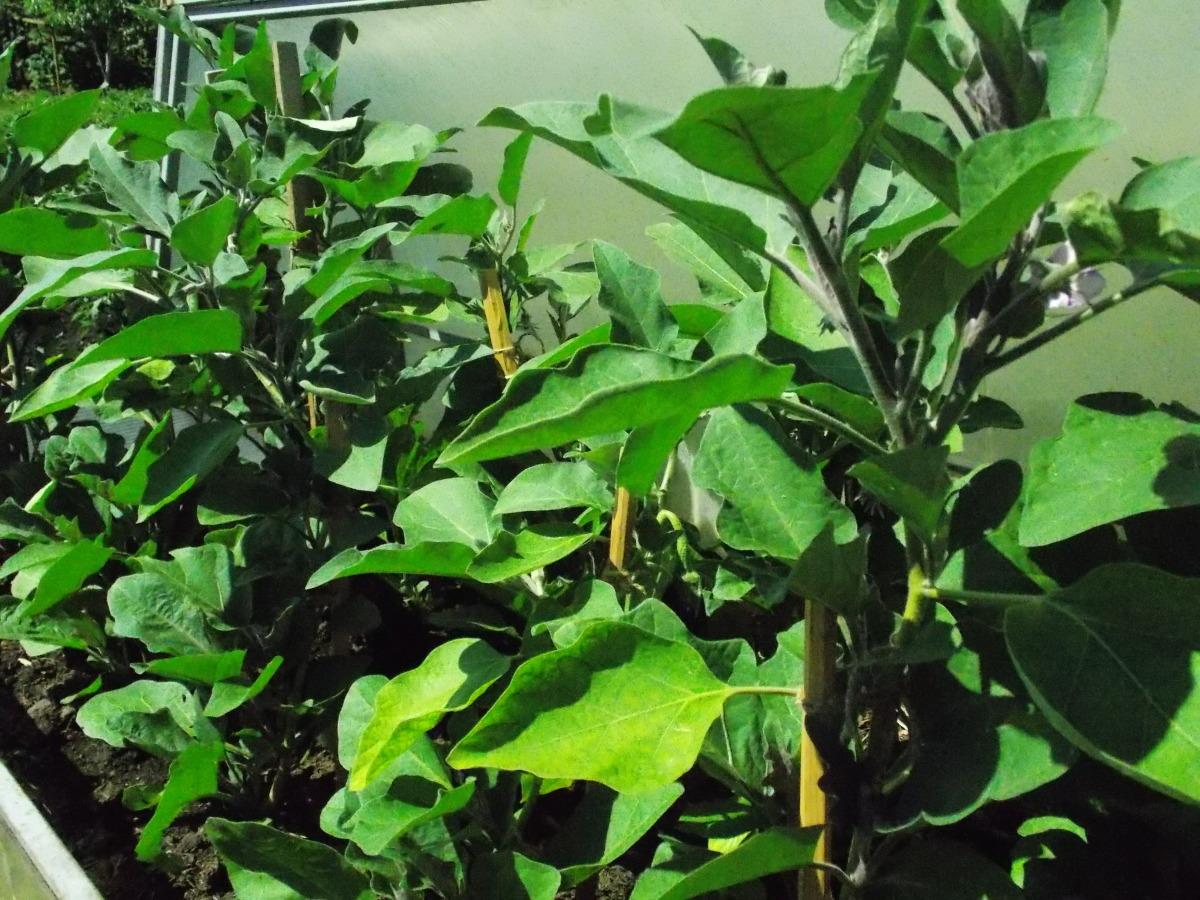 Баклажан щелкунчик f1: описание и рекомендации по выращиванию