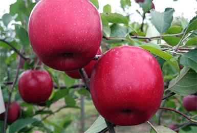 Особенности посадки яблони антоновка