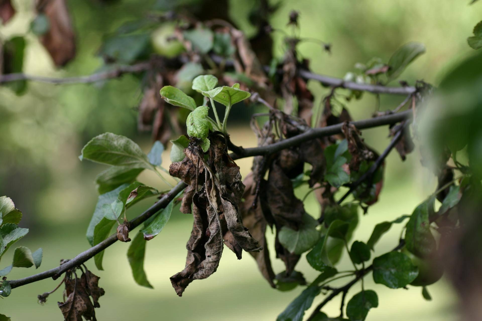 Скрученные листья у груши: основные причины, методы борьбы, 3 народных средства