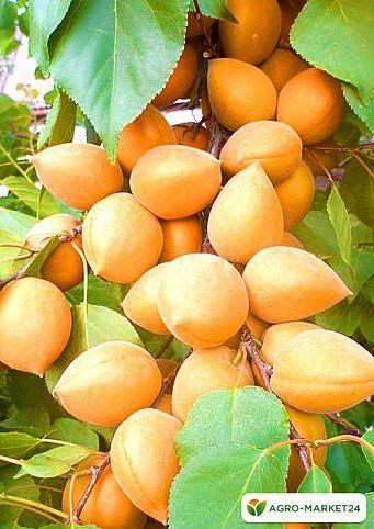 Ранние сорта абрикосов