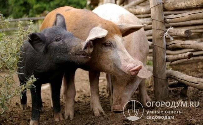 Мясные породы свиней в россии: характеристика, фото и цены