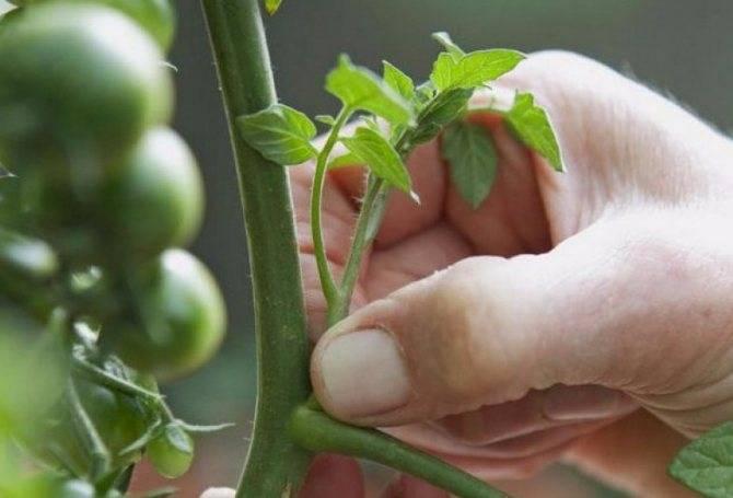 Томат загадка: описание сорта и 9 правил выращивания