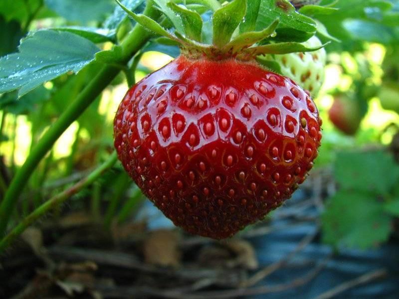 Клубника полка: описание сорта, отзывы садоводов, фото