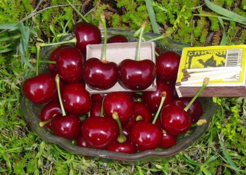 Сорт вишни чернокорка