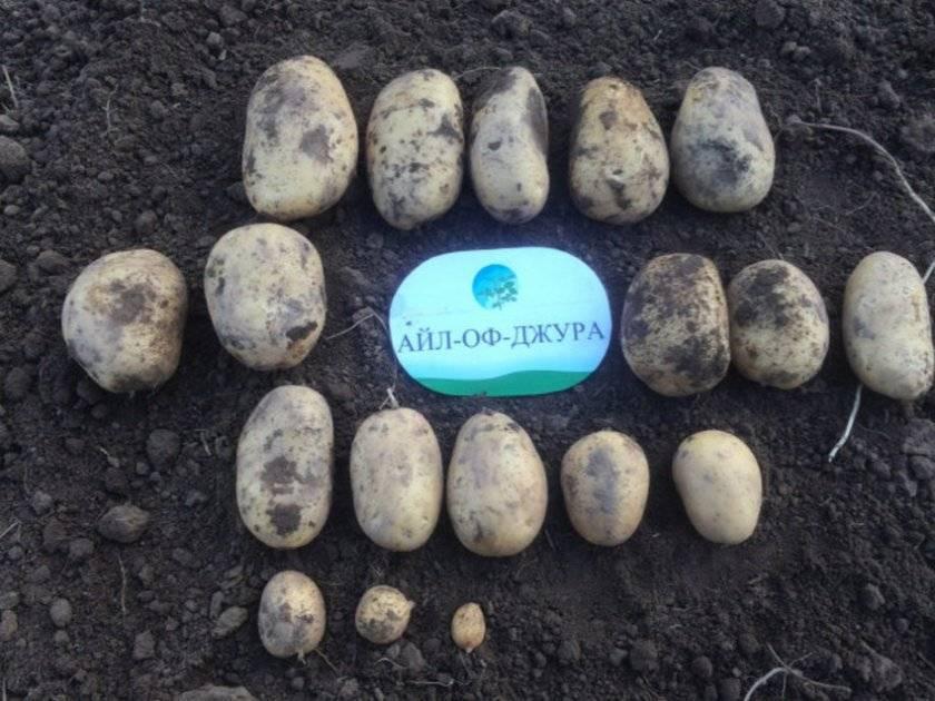 Сорт картошки айл оф джура (isle of jura) — описание
