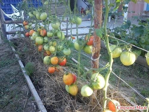Крупноплодный, розовый томат любимый праздник: полное описание, рекомендации по выращиванию, отзывы