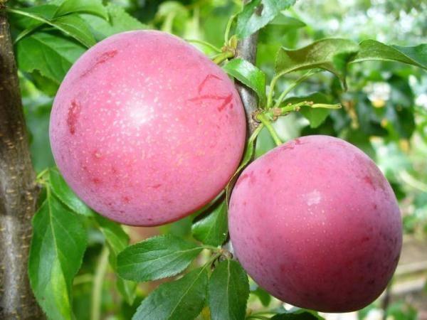 Алыча леонидовна — описание сорта, фото и отзывы садоводов