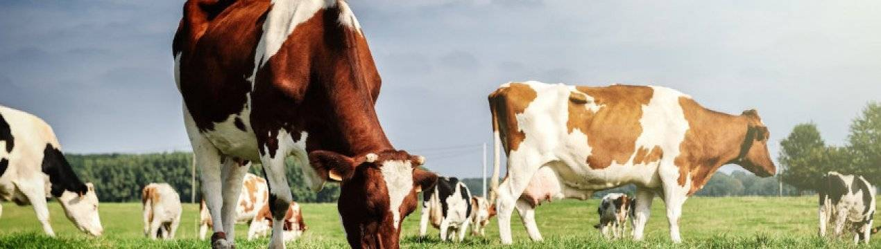 Некробактериоз коров