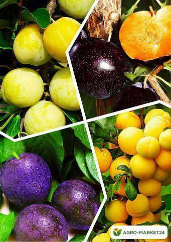 Слива подарок санкт петербургу — описание сорта, фото, отзывы садоводов