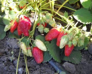 Белоплодная клубника: выращивание и уход