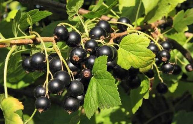 15 лучших сортов чёрной смородины