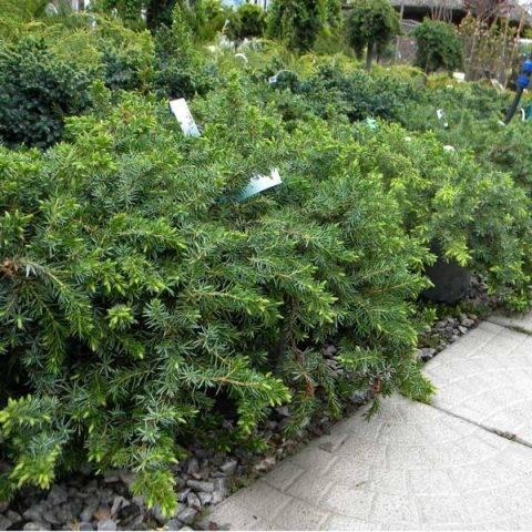 Можжевельник казацкий тамарисцифолия (juniperus sabina tamariscifolia)