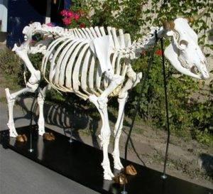 Симптомы и способы лечения ацидоза у коров