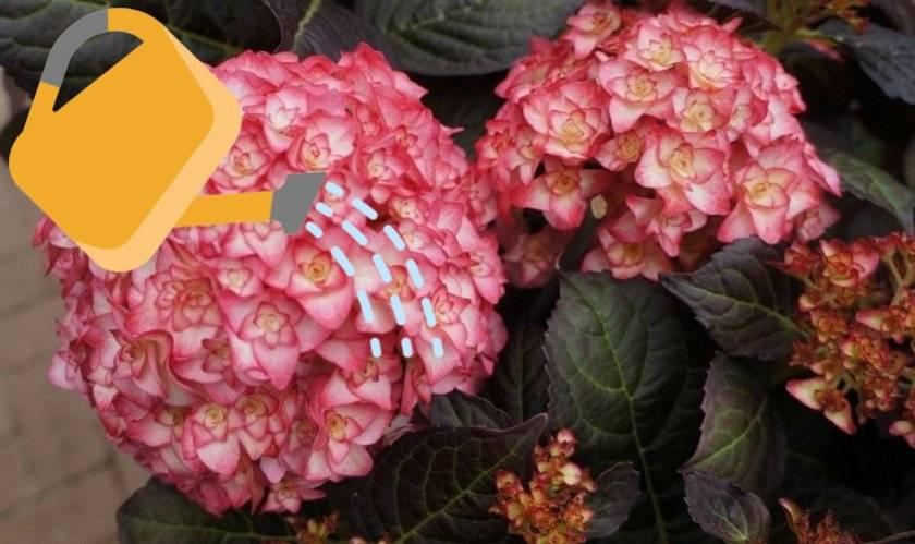 Крупнолистная гортензия: описание сортов, посадка в открытый грунт и уход за ней